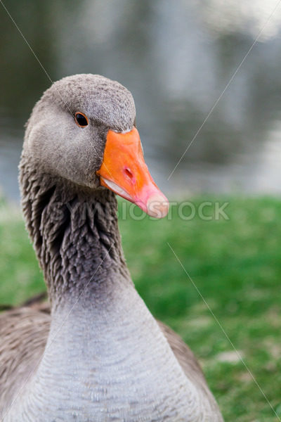 Anser Anser also known os greylag goose – Stock Images 4 You