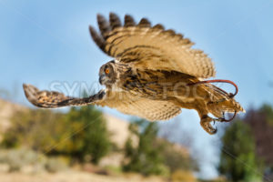 Bird in flight on the hunt - Stock Images 4 You