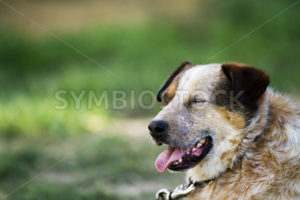 Blue healer relaxing in the hot yard panting with his tongue hanging out - Stock Images 4 You