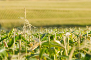 Endless view of the corn field - Stock Images 4 You