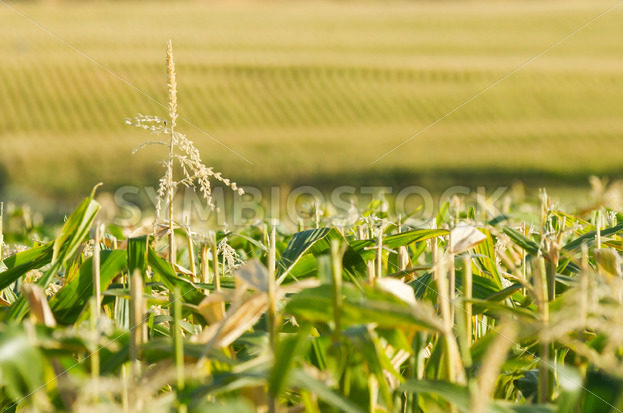 Endless view of the corn field – Stock Images 4 You