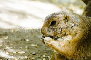 Ground hog eating  - Stock Images 4 You