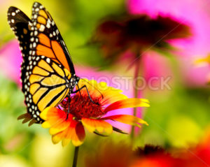 Monarch butterfly on a pretty flower - Stock Images 4 You