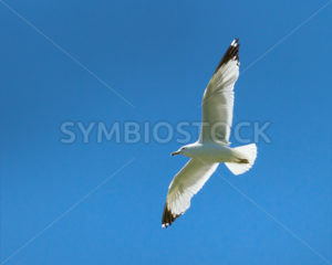 Seagull flying high - Stock Images 4 You