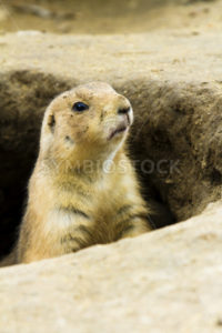 Single ground hog peaking out of his hole - Stock Images 4 You