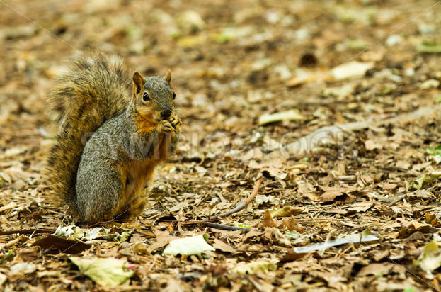 Squirrel Taking a chomp of something to eat – Stock Images 4 You