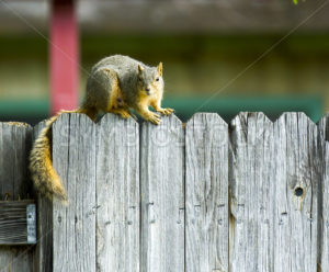 Squirrel hanging out on the fenceline - Stock Images 4 You