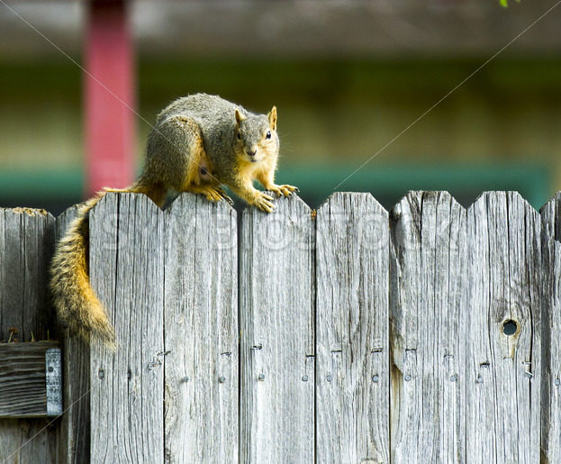 Squirrel hanging out on the fenceline – Stock Images 4 You