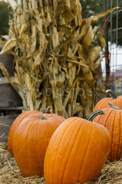 Time to pick your pumpking – Stock Images 4 You