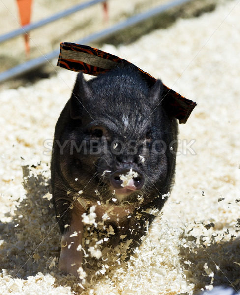 Young litty piggy running – Stock Images 4 You