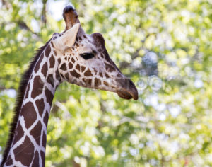 giraffe walking - Stock Images 4 You