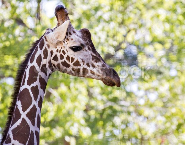 giraffe walking – Stock Images 4 You