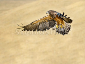 hawk going in for the kill - Stock Images 4 You