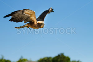 large hawk flying through the sky - Stock Images 4 You