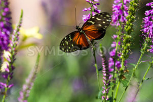 Butterfly up against some purple flowers - Stock Images 4 You
