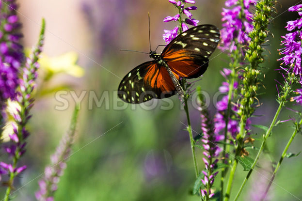 Butterfly up against some purple flowers – Stock Images 4 You