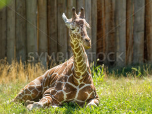 Cute young giraffe laying down - Stock Images 4 You
