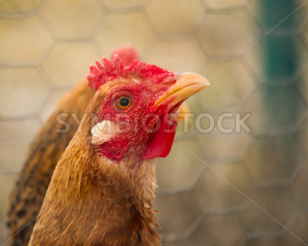 Farm chicken – Stock Images 4 You