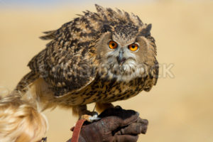 Large owl with very big eyes - Stock Images 4 You