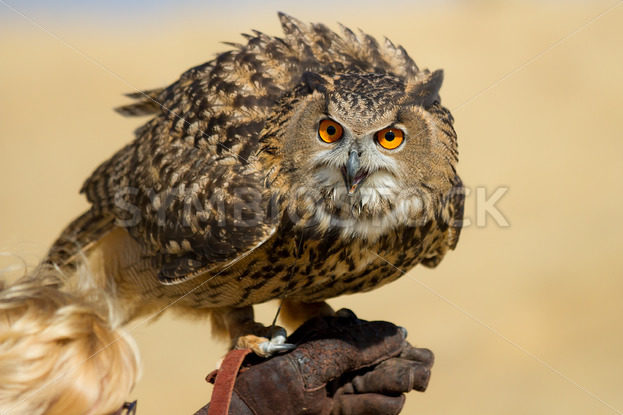 Large owl with very big eyes – Stock Images 4 You
