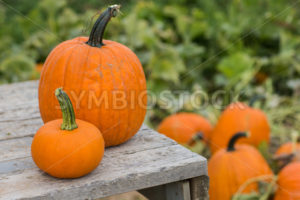 Pumpkins on a wooden platform - Stock Images 4 You