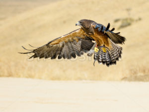Swainson hawk flying - Stock Images 4 You