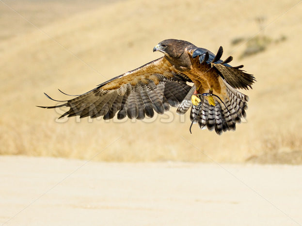 Swainson hawk flying – Stock Images 4 You