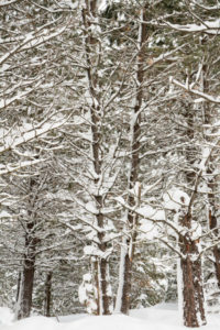 Trees in the winter just covered in snow - Stock Images 4 You