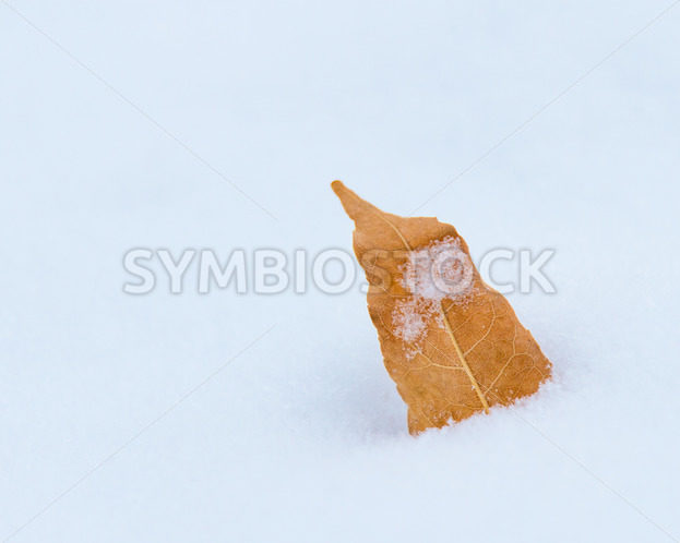 leaf that has fallen off a tree laying in he snow – Stock Images 4 You