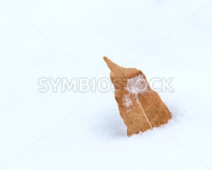 leaf that has fallen off a tree laying in he snow - Stock Images 4 You